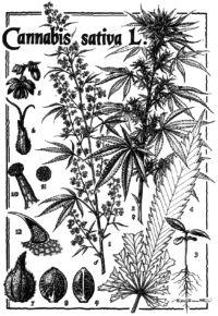Predstavitev rastline konoplje v nekem prastarem botaničnem priročniku