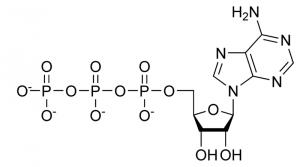 molekula_atp